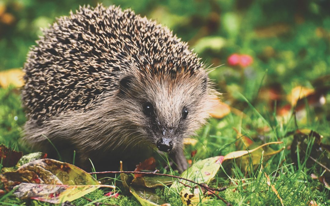 Close up of a Hedgehog in grass